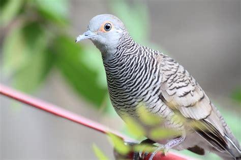 tips memelihara dan melatih burung perkutut ardi wasila