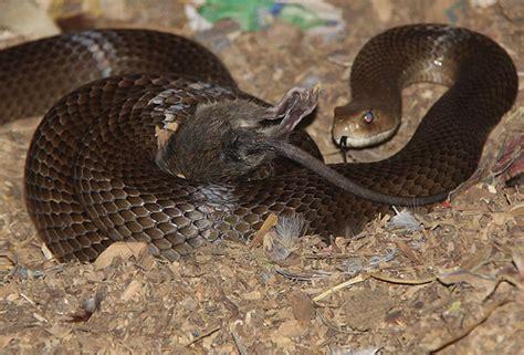 Garden Snake Eat Mice Snake Rat 5 Flickr Photo