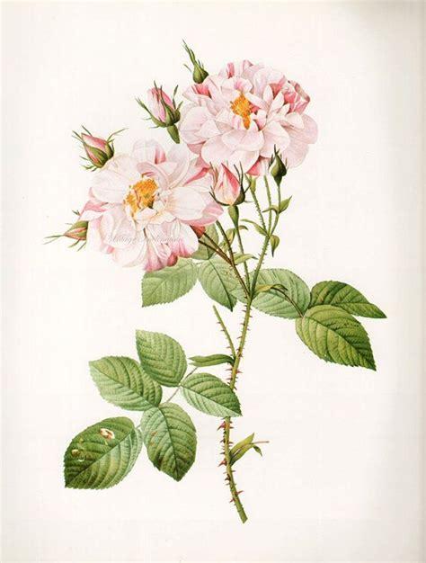 antique rose botanical garden wall art print by vintage botanical print antique york rose plant print