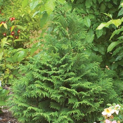 soft serve 174 false cypress chamaecyparis pisfera proven winners