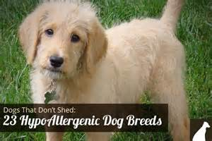Breads That Dont Shed by Labradoodles Home Tips And A House On