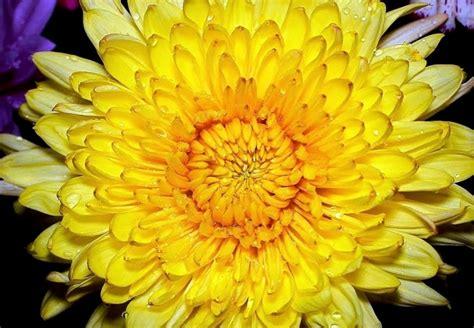 el crisantemo y la 8420653705 la flor de crisantemo cuento takiruna
