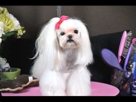 asian fusion maltese haircut 1000 images about shih tzu hair cuts on pinterest