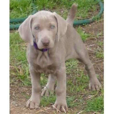 weimaraner puppies for sale in michigan weimaraner breeders in california freedoglistings