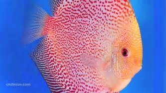 Discus Fish Gallery   YouTube
