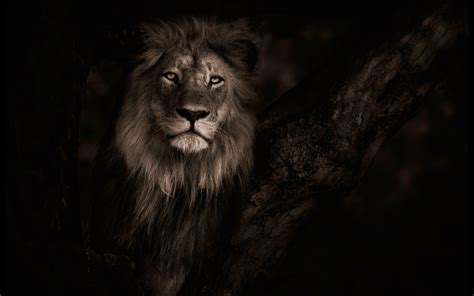 lion background   full hd backgrounds