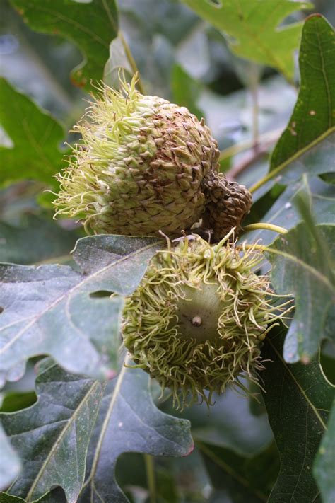 what fruit grows on an oak tree bur oak tree fruits tropical fruits and veggies