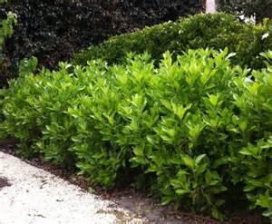 Viburnum odoratissimum awabuki details of the plant tga