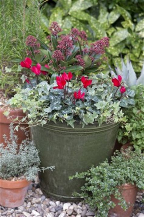 winter flowering shrubs for containers autumn in the garden combine shrubs and bedding for