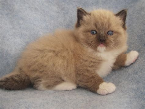 cats breeders best 25 ragdoll cat breeders ideas on ragdoll
