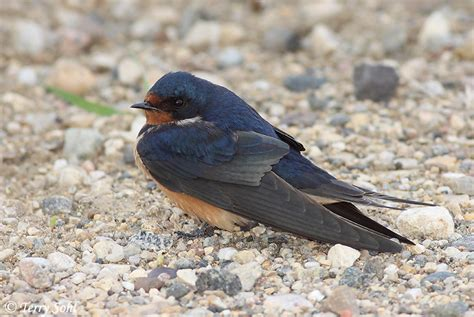 barn swallow photo photograph picture