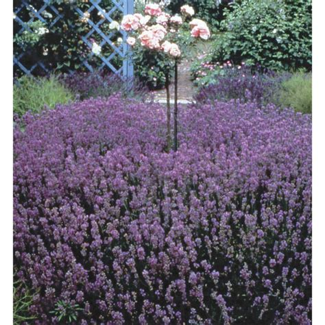 hardy lavender plants grow herbs and flowers in 53 best fast growing plants for privacy images on growing plants privacy fences and