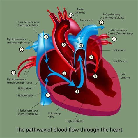 blood flow through diagram blood flow through diagrams diagram site
