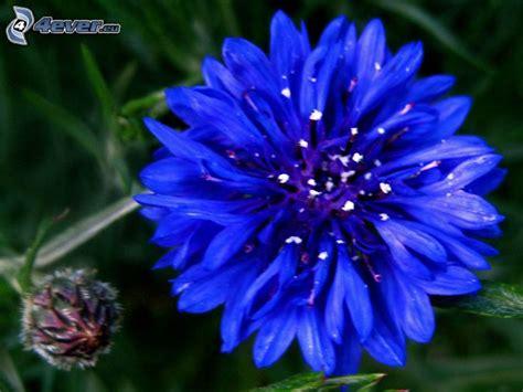 fiore fiordaliso fiordaliso