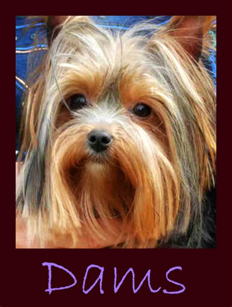 yorkie puppies for sale in albuquerque crescent yorkies montana yorkies terrier puppies for sale