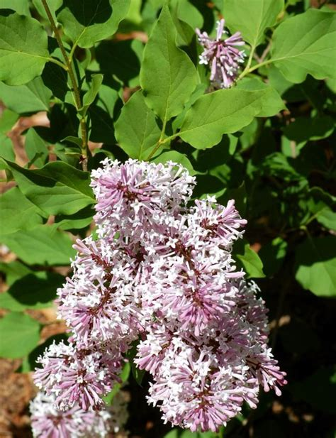 Syari Lilac Mol 1 87 best flowering hedge ideas images on flowering bushes flowering shrubs and