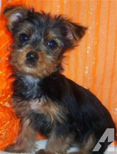 8 week yorkie puppies yorkie puppies 8 weeks for sale in kansas