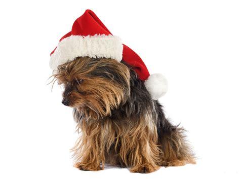 christmas yorkie wallpaper free yorkshire terrier puppy christmas computer desktop