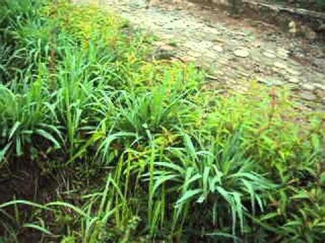Bibit Pohon Indigofera rumput setaria buzzpls