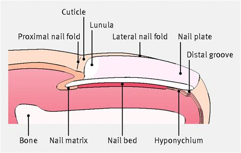 nail bed anatomy the management of ingrowing toenails the bmj