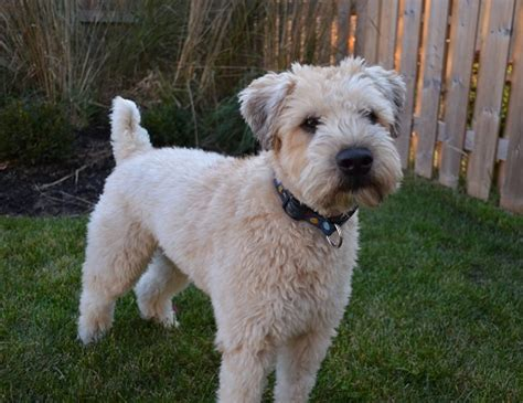 wheaten terrier haircut styles pictures of wheaten terrier haircuts pictures of wheaten