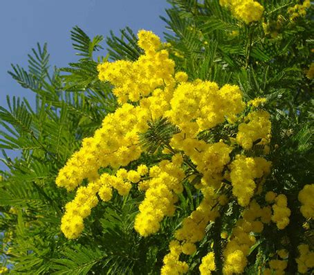 fiori mimosa foto il significato e la simbologia della mimosa