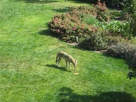 coyote in my backyard coyote in suburban backyard youtube