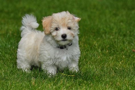 dogs havanese havanese puppy breeds picture