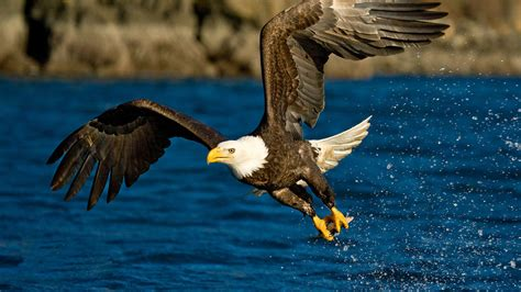 Flying Eagle HD Wallpapers   Eagle Flying HD Pictures   HD ...
