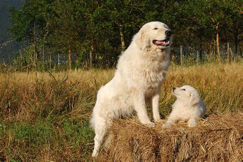 how to guard dogs how to choose a livestock guard modern farmer
