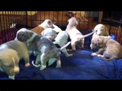 3 week pitbull puppies pit bull puppies at 3 weeks