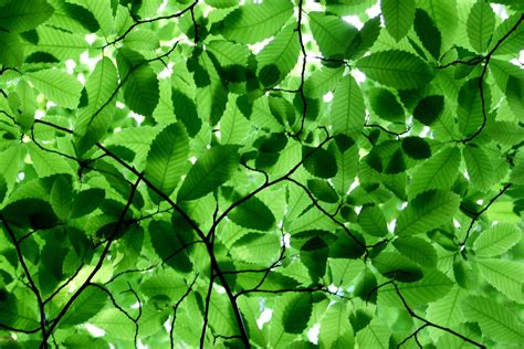 Canopy Of Leaves free canopy of leaves stock photo freeimages