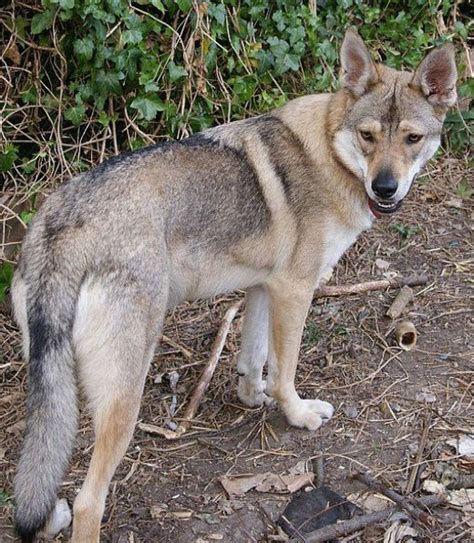 dogs that look like wolves the best seven dogs that look like wolves pethelpful