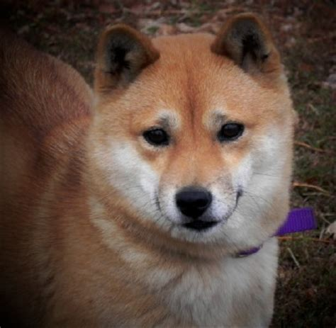 shiba inu puppies houston shiba inu dogs for sale in breed dogs spinningpetsyarn