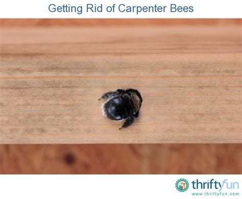 how to get rid of bees in my backyard getting rid of carpenter bees thriftyfun