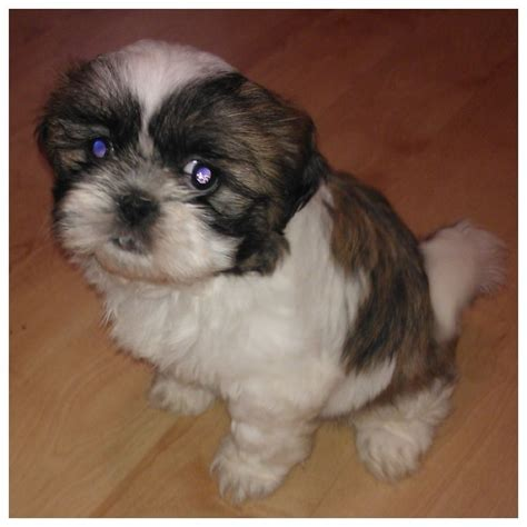 shih tzu puppies for sale glasgow shih tzu puppies for sale shih tzu puppies for sale in ontario for sale