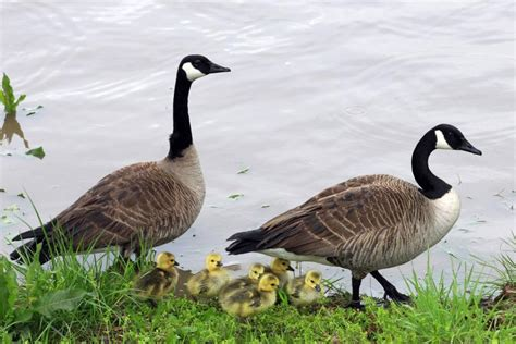 canada geese  denver parks culled  meat upicom
