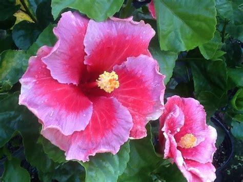 fiori hibiscus ibiscus hibiscus piante da giardino coltivazione
