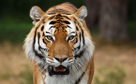 the tiger who would 10 unusual tiger facts facts about tigers