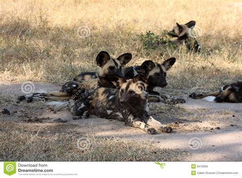dogs in africa dogs in south africa royalty free stock images image 9475959