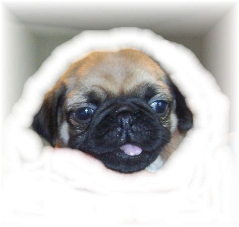 pug finder pug puppies for sale now allmypugs pugs for sale