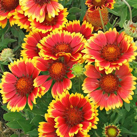fall blooming plants zone 5 the best perennials for cutting drought tolerant wildflowers and sunnies