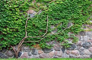 Fast Growing Climbing Plants For Fences - vine growing on a rock wall photograph by michael gray