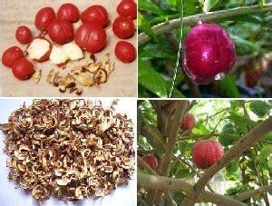 cara alami menjaga kesehatan dengan mahkota dewa