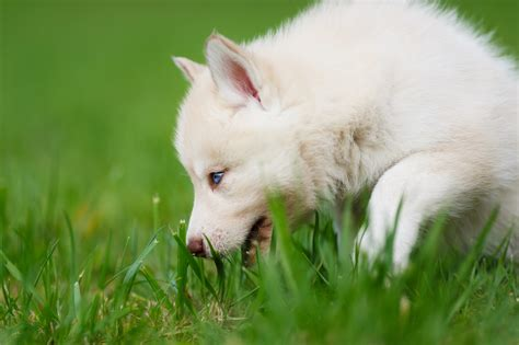 is it ok for dogs to eat grass is it ok for my to eat grass santa barbara pet sitters and walkers
