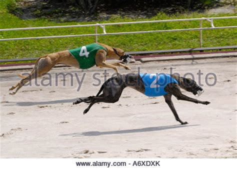 sarasota track greyhound racing at the sarasota kennel club track in stock photo royalty