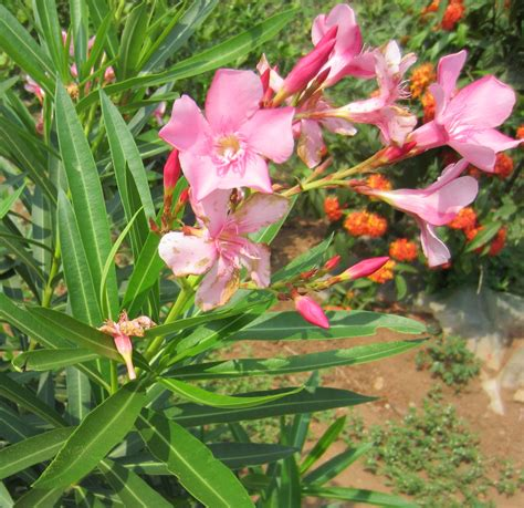 oleander plant oleander a fast and easy growing flowering shrub smallhomegardens2012