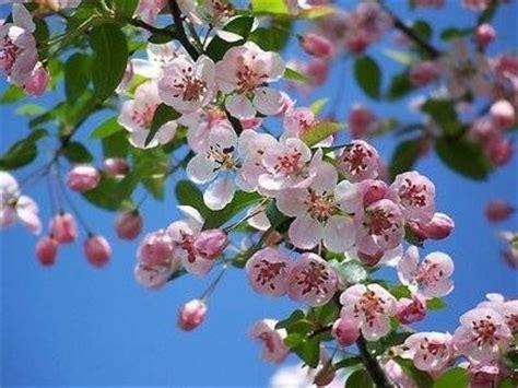 fiori di melo fiori melo fiori delle piante