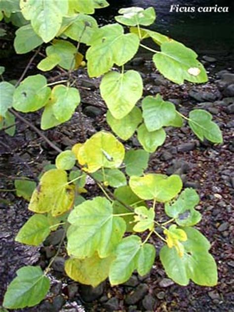 foglie e fiori genova fico fiori e fogliefiori e foglie