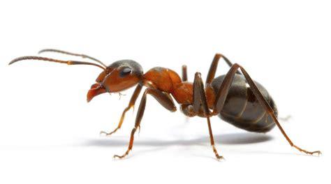 eliminare le formiche da casa come eliminare le formiche da casa velocemente e in modo